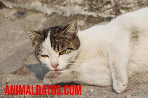 gato tiene 7 vidas