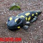 ¿Las salamandras son venenosas o peligrosas para el ser humano?