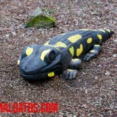 las salamandras son venenosas