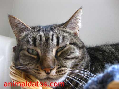 vitaminas para gatos mayores