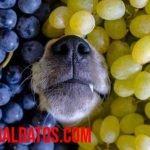 ¿Por qué los perros no pueden comer uvas? ¿Son tóxicas para ellos?
