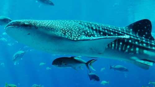 peces que respiran por las branquias