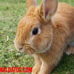 como diferenciar a un conejo de una liebre