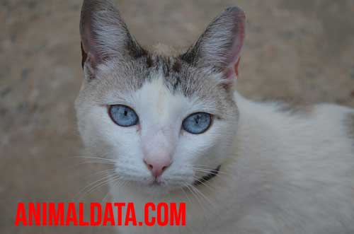 esterilizar gata
