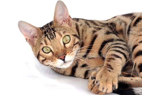 gato bengali