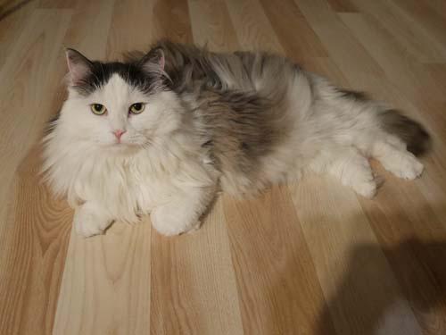 lista de gatos hipoalergenicos