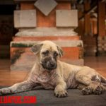 Como detectar los síntomas de lombrices en perros y eliminar con remedios caseros
