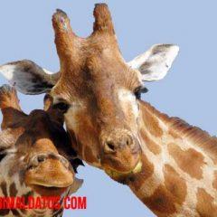 que comen las jirafas