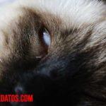 ¿Por qué mi gato tiene un tercer párpado? – Causas y tratamientos