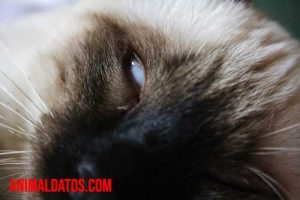 tercer parpado en gatos