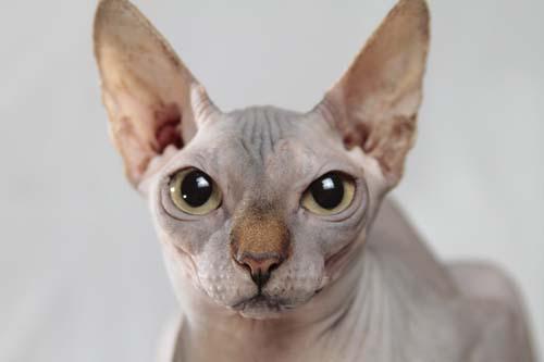 tipos de gatos que no dan alergia
