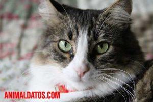 A qué edad se puede esterilizar a una gata