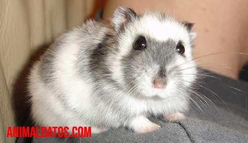 como cuidar a un hamster