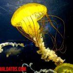 ¿Cómo se reproducen las medusas? (Incluye Video)