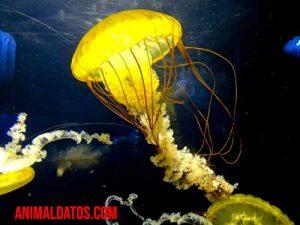 como se reproducen las medusas