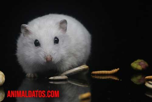 hamster limpio