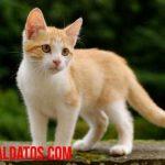 ¿Hasta que edad crecen los gatos y pueden considerarse adultos?