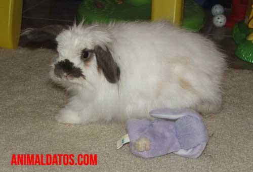 principales razas conejos orejas caidas