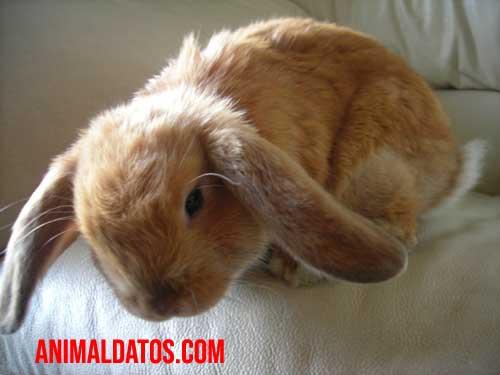 que son los conejos orejas caidas