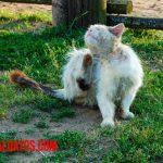 Como eliminar las pulgas de mi gato de forma casera
