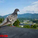 Como funcionan las palomas mensajeras y sabe a donde ir