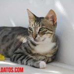 ¿Cómo saber si mi gata está embarazada? Signos visibles y de comportamiento