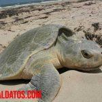 ¿Cómo es reproducen las tortugas? Reproducción de tierra, agua dulce y otras más