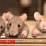 ¿Dónde se esconden las ratas de día? Tips para encontrar su escondite