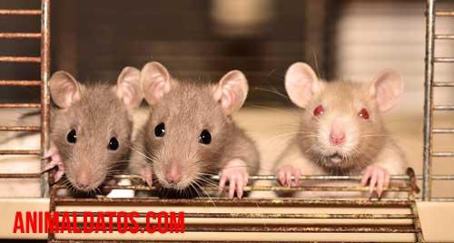 donde se esconden las ratas de dia