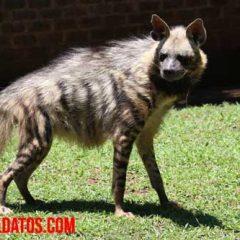 hienas de mascotas