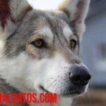 ¿Es buena idea tener un lobo mascota? Todo sobre los wolfdog
