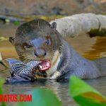 ¿Qué comen las nutrias domésticas, de río y salvajes?