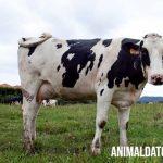 Cada cuanto pare una vaca y que es el Intervalo del Período entre Partos