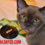 ¿Los gatos pueden comer chocolate o es tóxico para ellos?