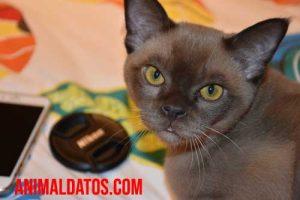 chocolate gatos