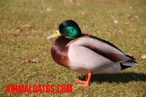 cuidados de un pato