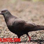9 curiosidades de las palomas que te sorprenderán