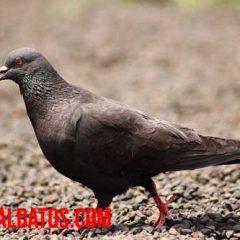 curiosidades de las palomas