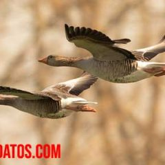 ejemplos de aves que migran