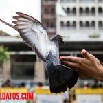 ¿Tener palomas como mascotas es buena idea?