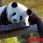 ¿Por qué el panda está en peligro de extinción?