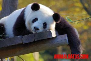 por que el oso panda esta en peligro de extincion