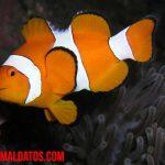 Porque el pez payaso recibe ese nombre, ¿en serio se parece a uno?