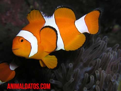 porque el pez payaso recibe ese nombre