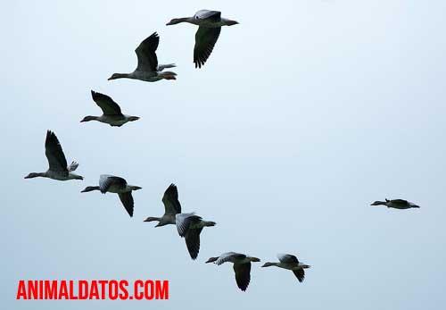 porque las aves vuelan en v