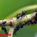 Conoce porque las hormigas caminan en fila, ¿son inteligentes acaso?