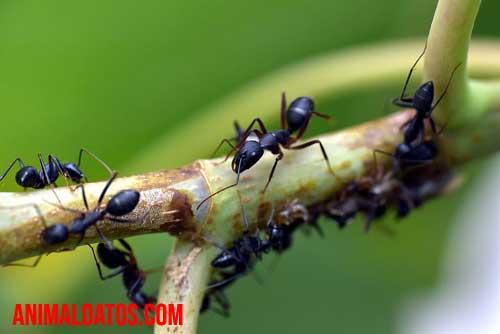 porque las hormigas caminan en fila