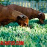 Porque los perros se comen su popo y como evitarlo