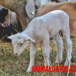¿Qué diferencia existe entre cordero y oveja?