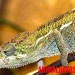 Porque los camaleones cambian de color, ¿cuál es su secreto?